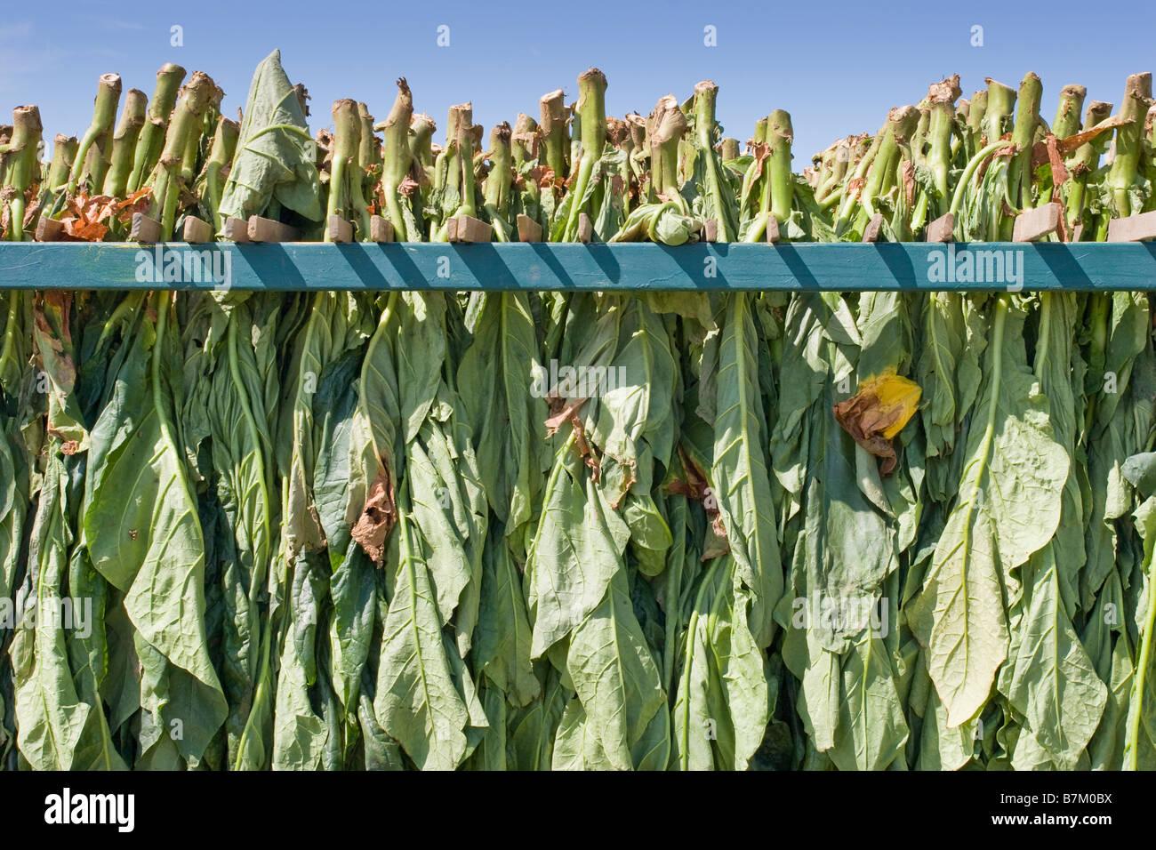 Tobacco harvest in Canada - Stock Image