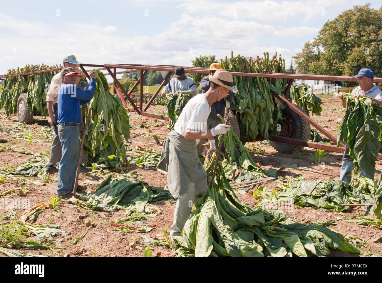 Tobacco farming in Ontario Canada - Stock Image