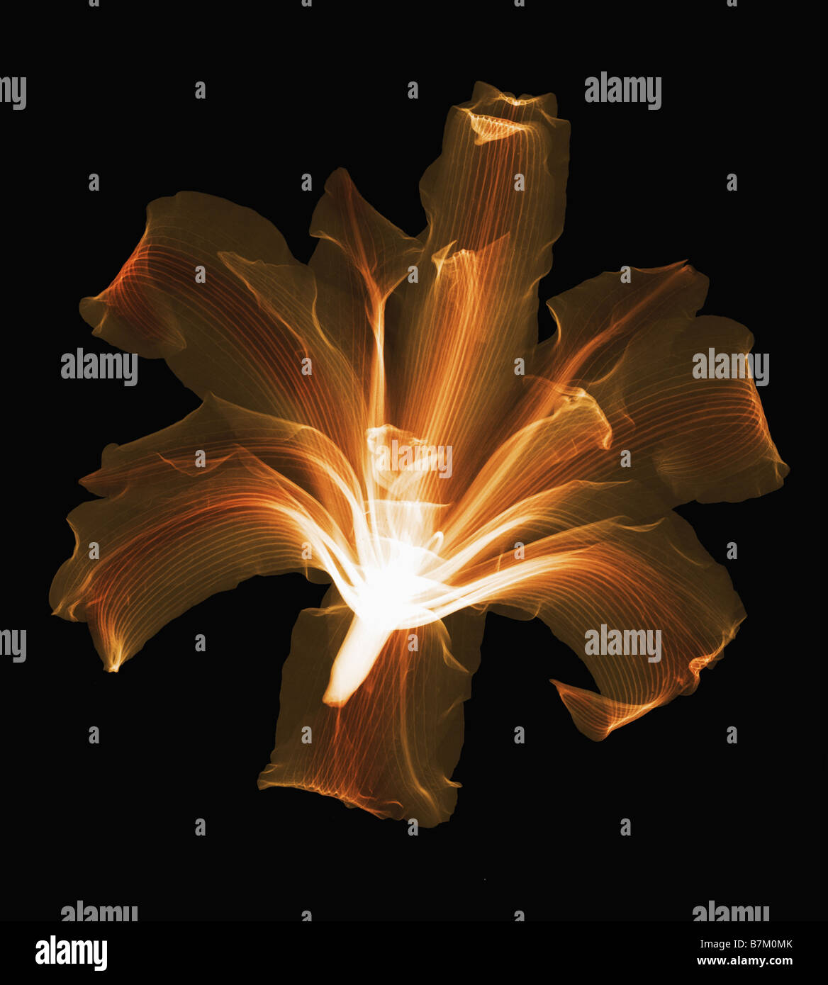 An X Ray of a lilly flower - Stock Image