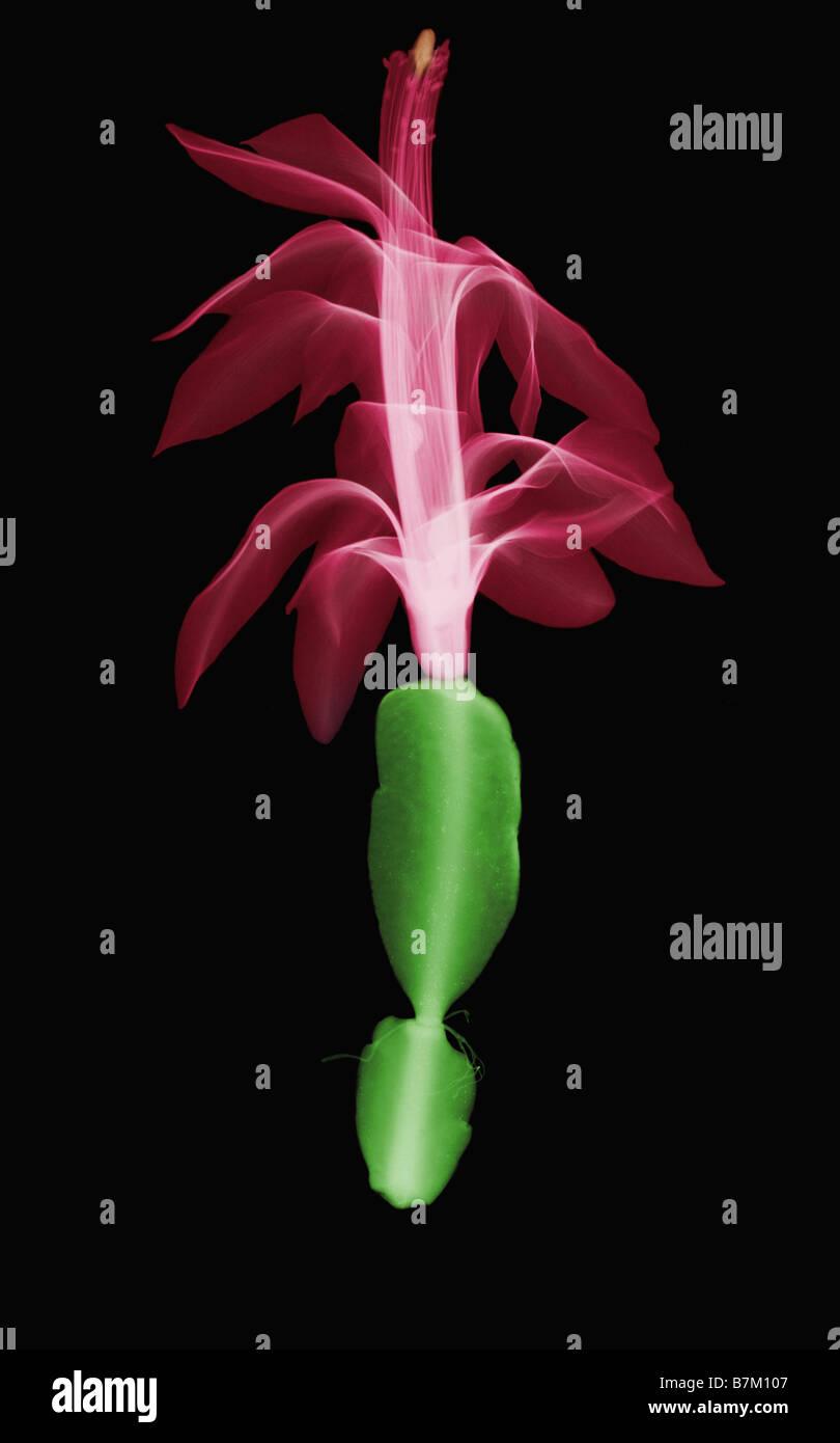 An X Ray of a Christmas Cactus Blossom - Stock Image