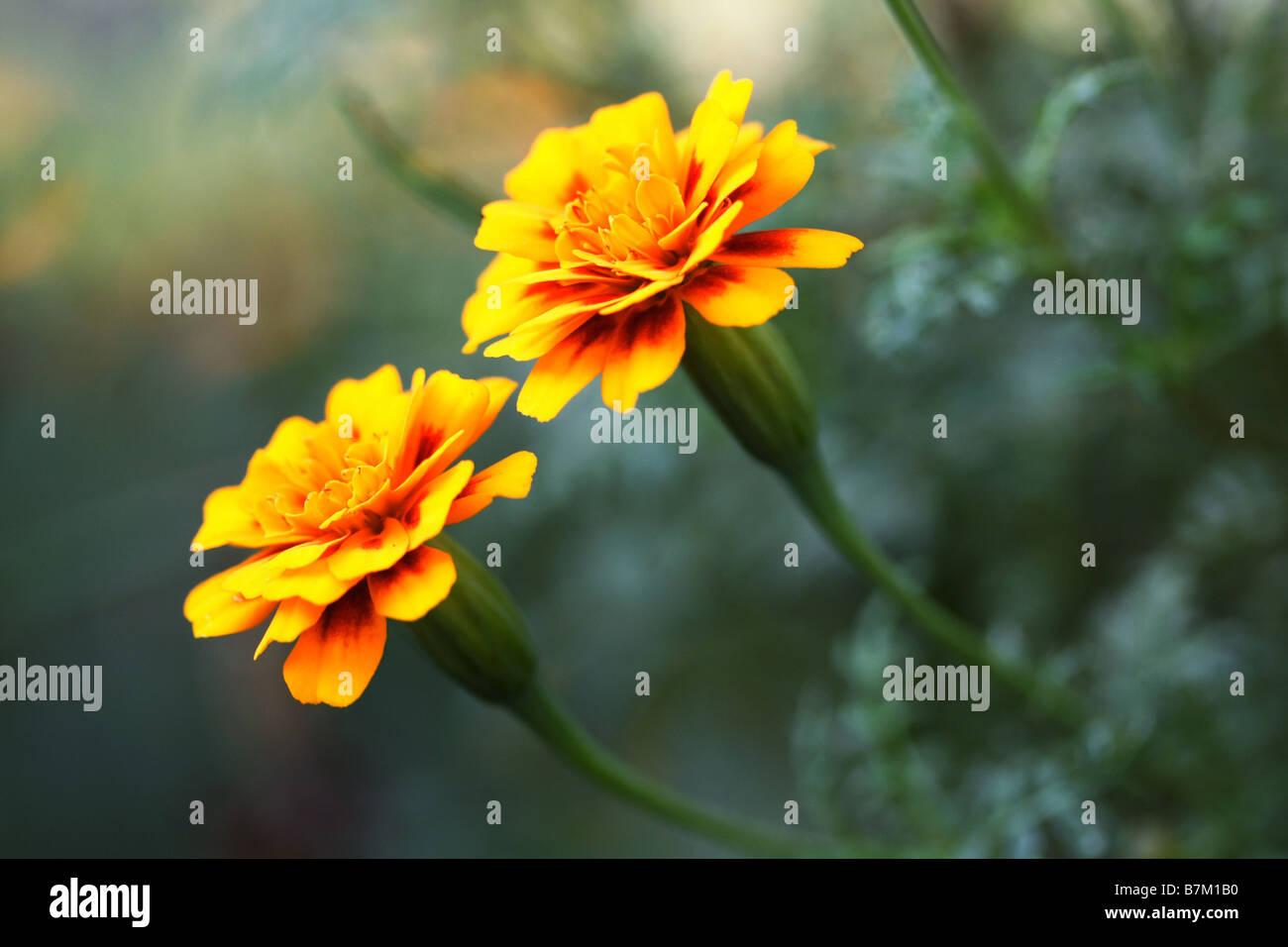 bb206c90e Beautiful Marigold Stock Photos & Beautiful Marigold Stock Images ...