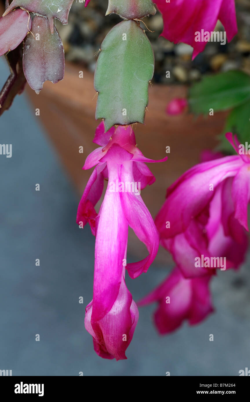 Flower Schlumbergera home care, reproduction and photo 92