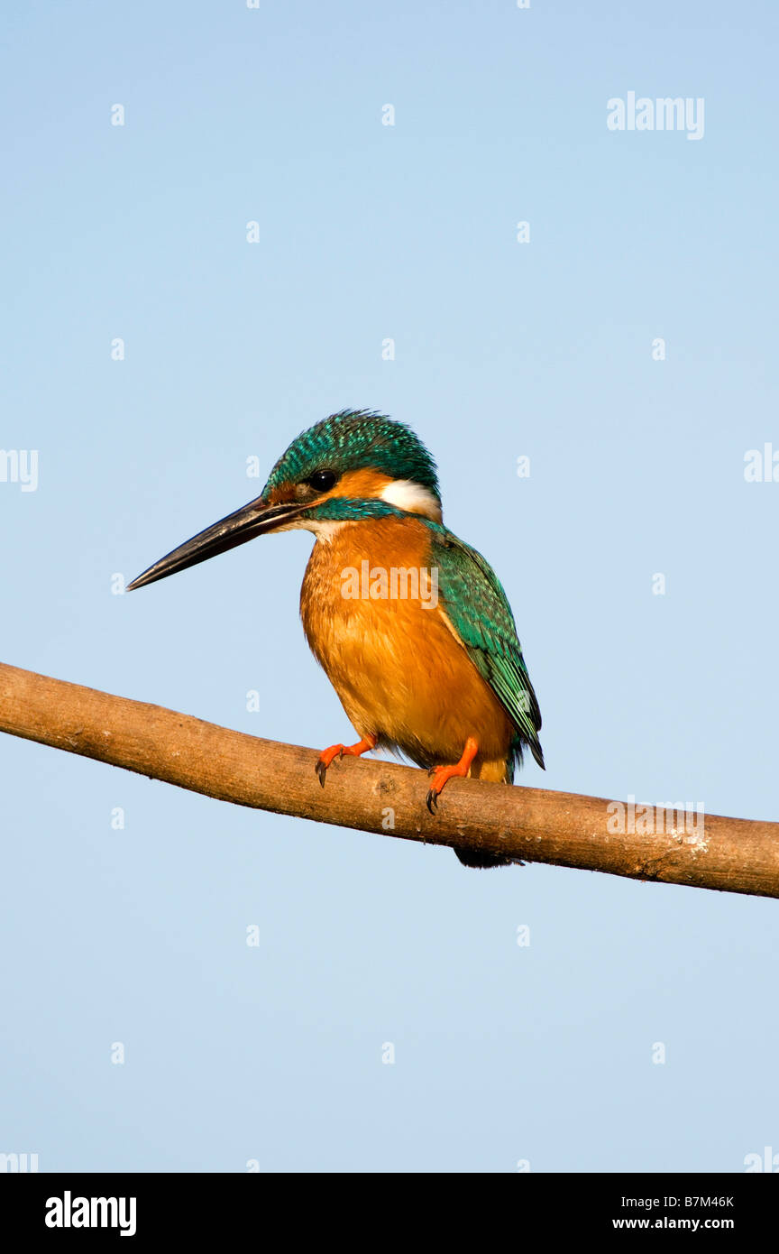 Alcedo atthis. Common European Kingfisher perched on a stick over a water well in the indian countryside. Andhra - Stock Image