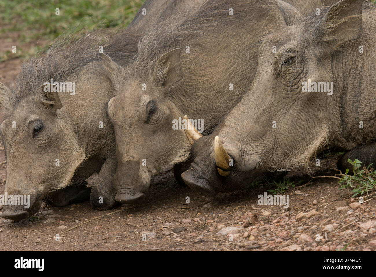 pig pigs wild pigs wild boar boars bush hog - Stock Image