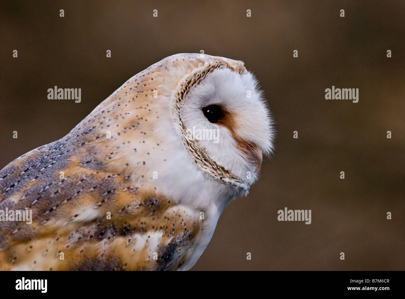 A profile of a Barn Owl. - Stock Image