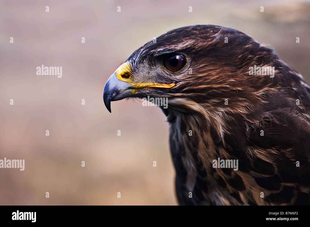 A profile of a male Common Buzzard. - Stock Image