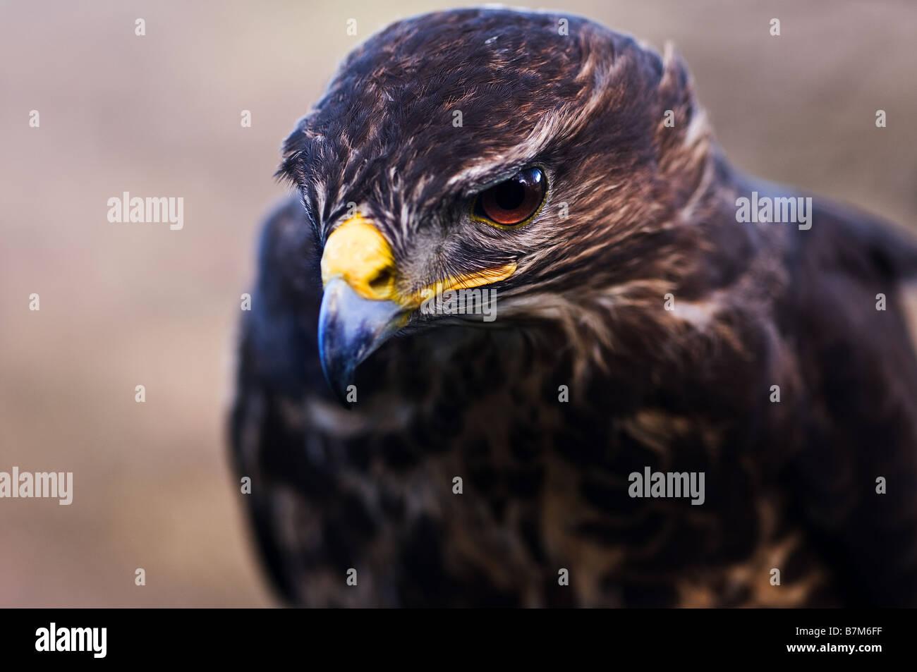 A closeup of a male Common Buzzard. - Stock Image