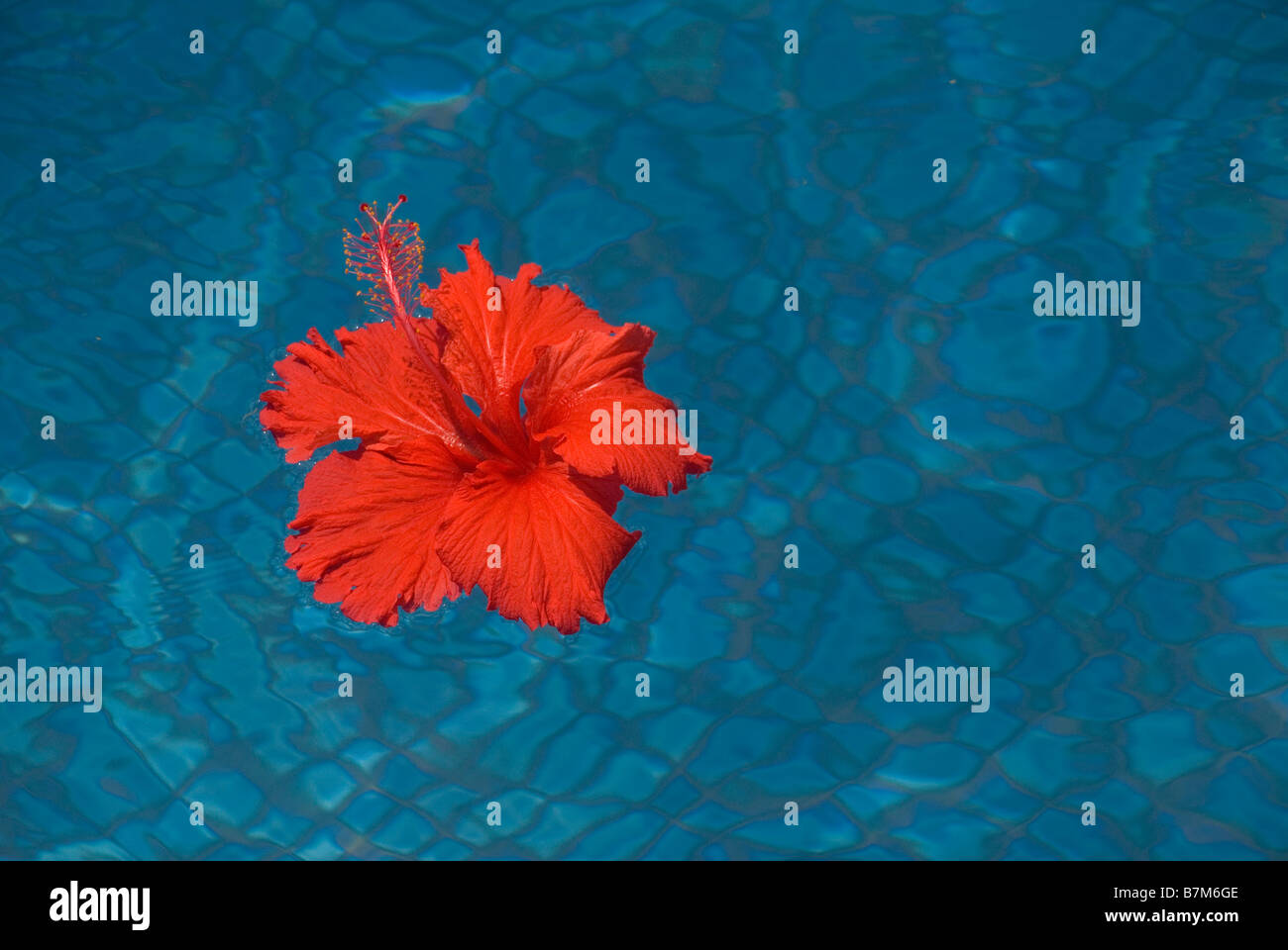 Red hibiscus flower in blue swimming pool stock photo 21957166 alamy red hibiscus flower in blue swimming pool izmirmasajfo