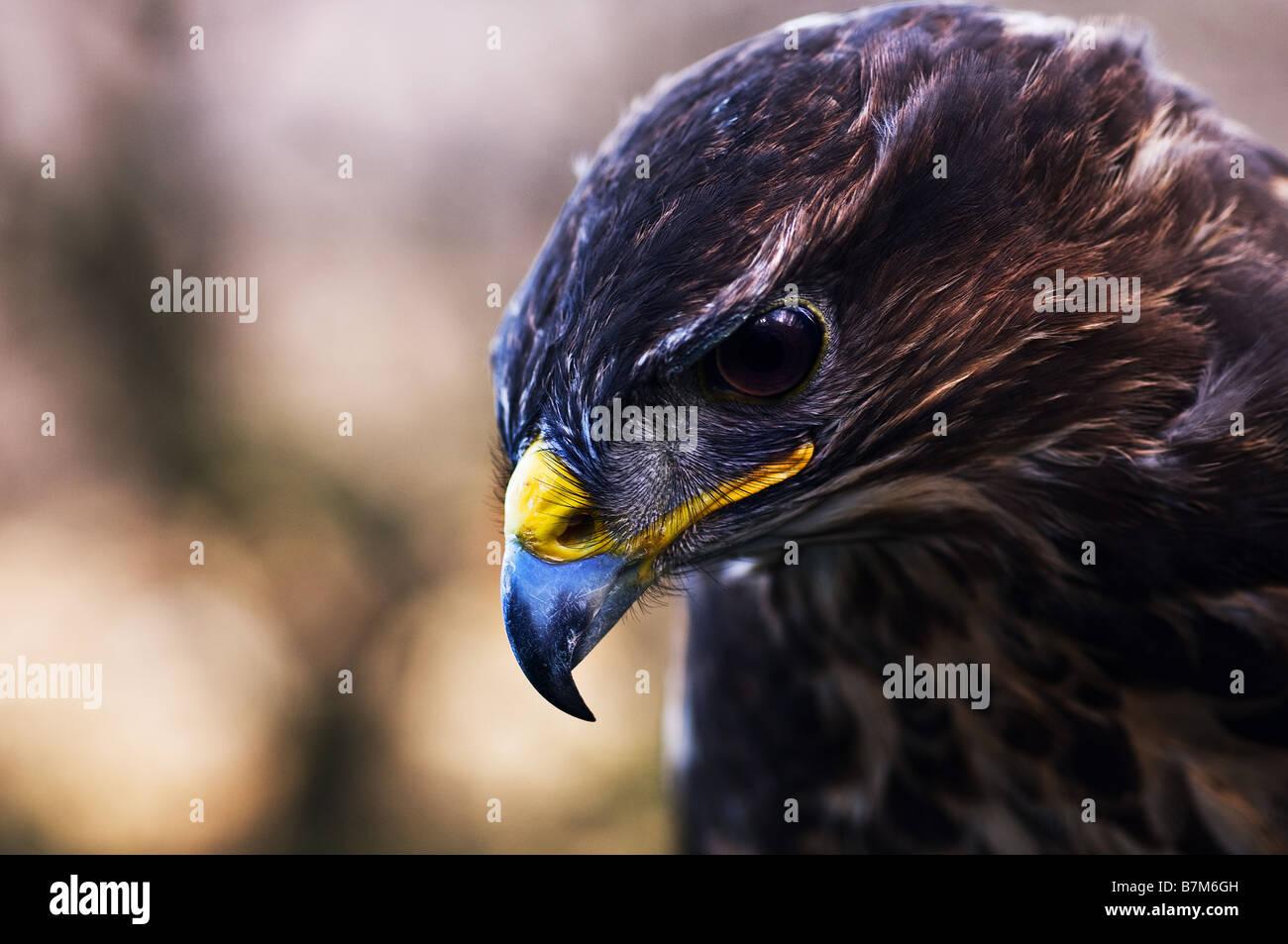 A closeup of a Common Buzzard. - Stock Image