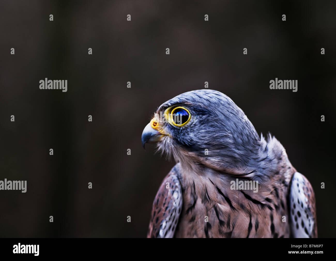The profile of a male Kestrel. - Stock Image