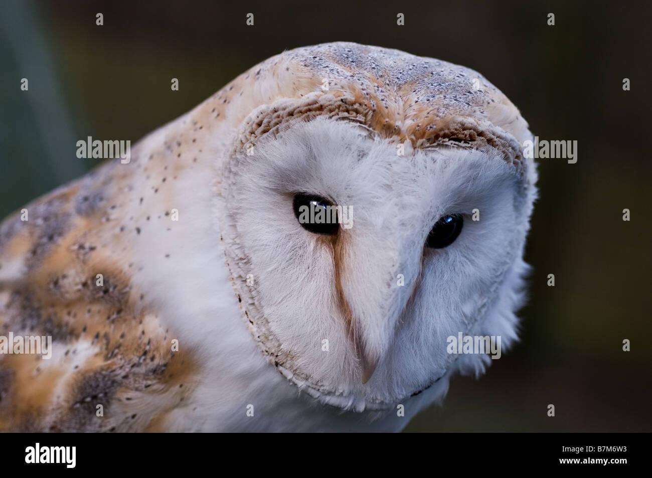 A Barn Owl. - Stock Image