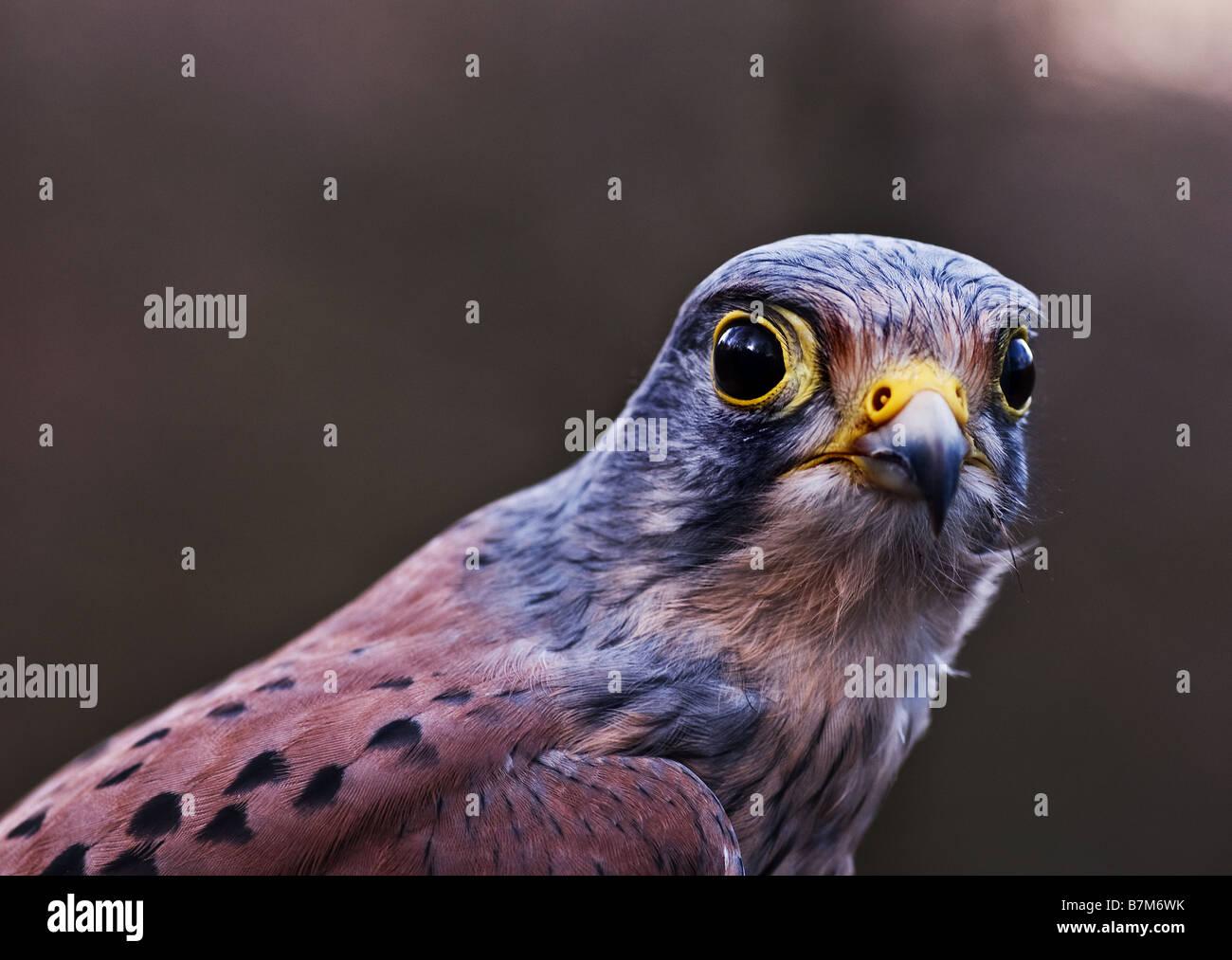 A male Kestrel. - Stock Image