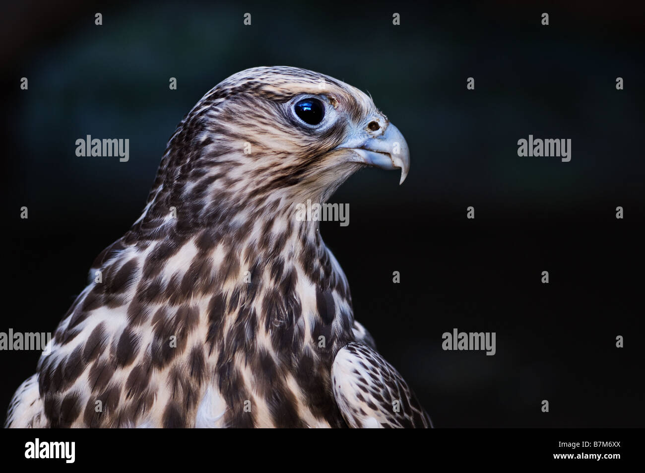 A profile of a female Saker falcon. - Stock Image