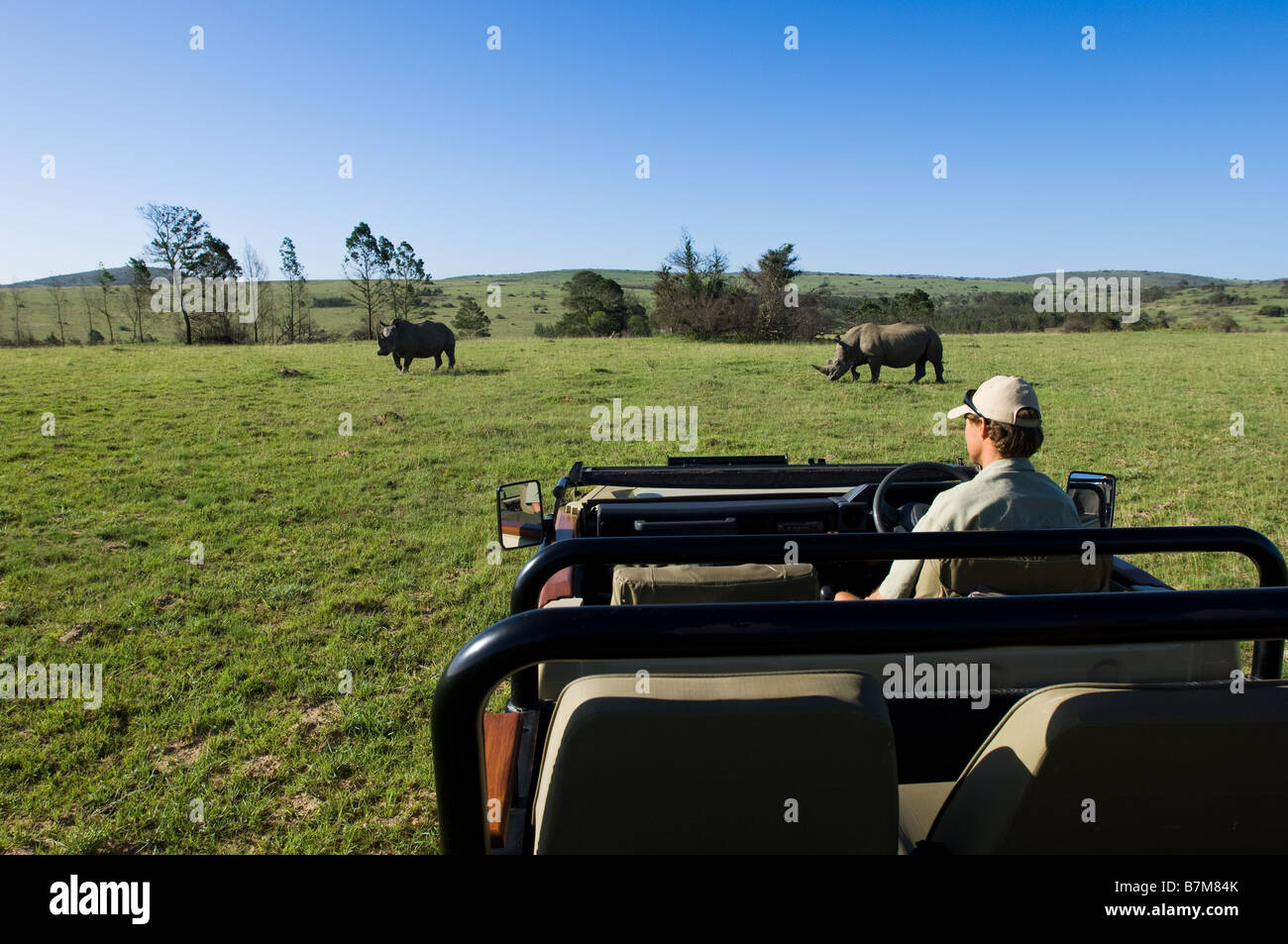 Image taken on a game drive in South Africa with the ranger sitting in the open vehicle and 2 rhinos in the background - Stock Image
