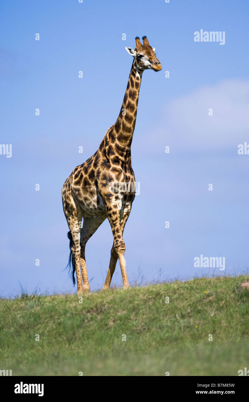 Clear image of a giraffe walking on a rise in an open field silhouetted against a partly cloudy blue sky - Stock Image