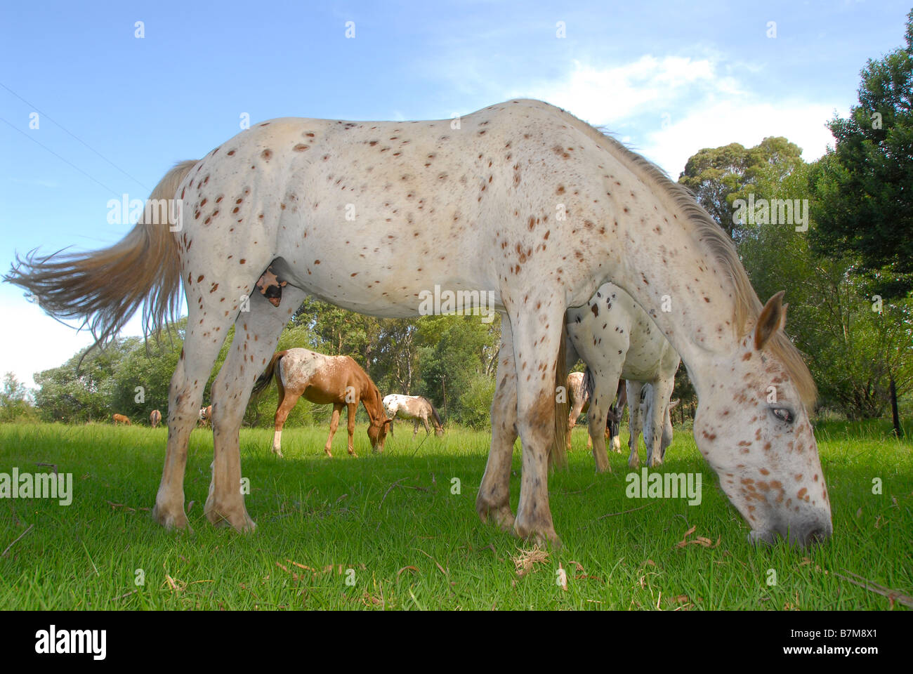 Painted horse grazing near Mooi River in the Natal Midlands of Kwazulu Natal, South Africa Stock Photo