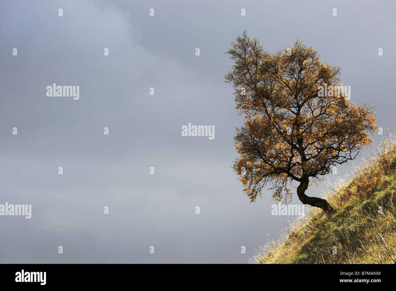 Small tree on steep slope against dark grey clouds Perthshire Scotland - Stock Image