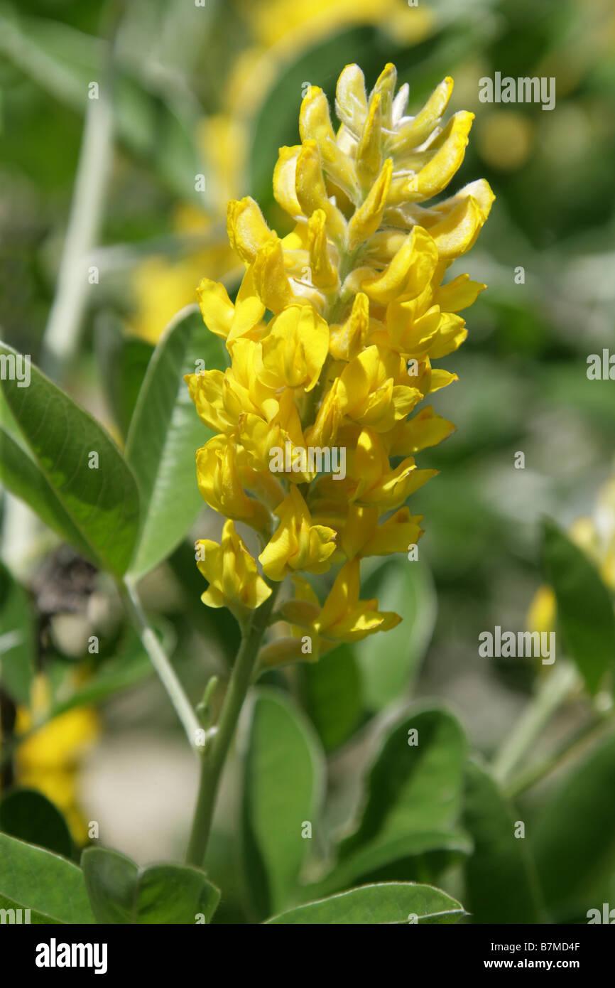 Atlas Broom or Moroccan Broom, Argyrocytisus battandieri, Fabaceae, Morrocco - Stock Image
