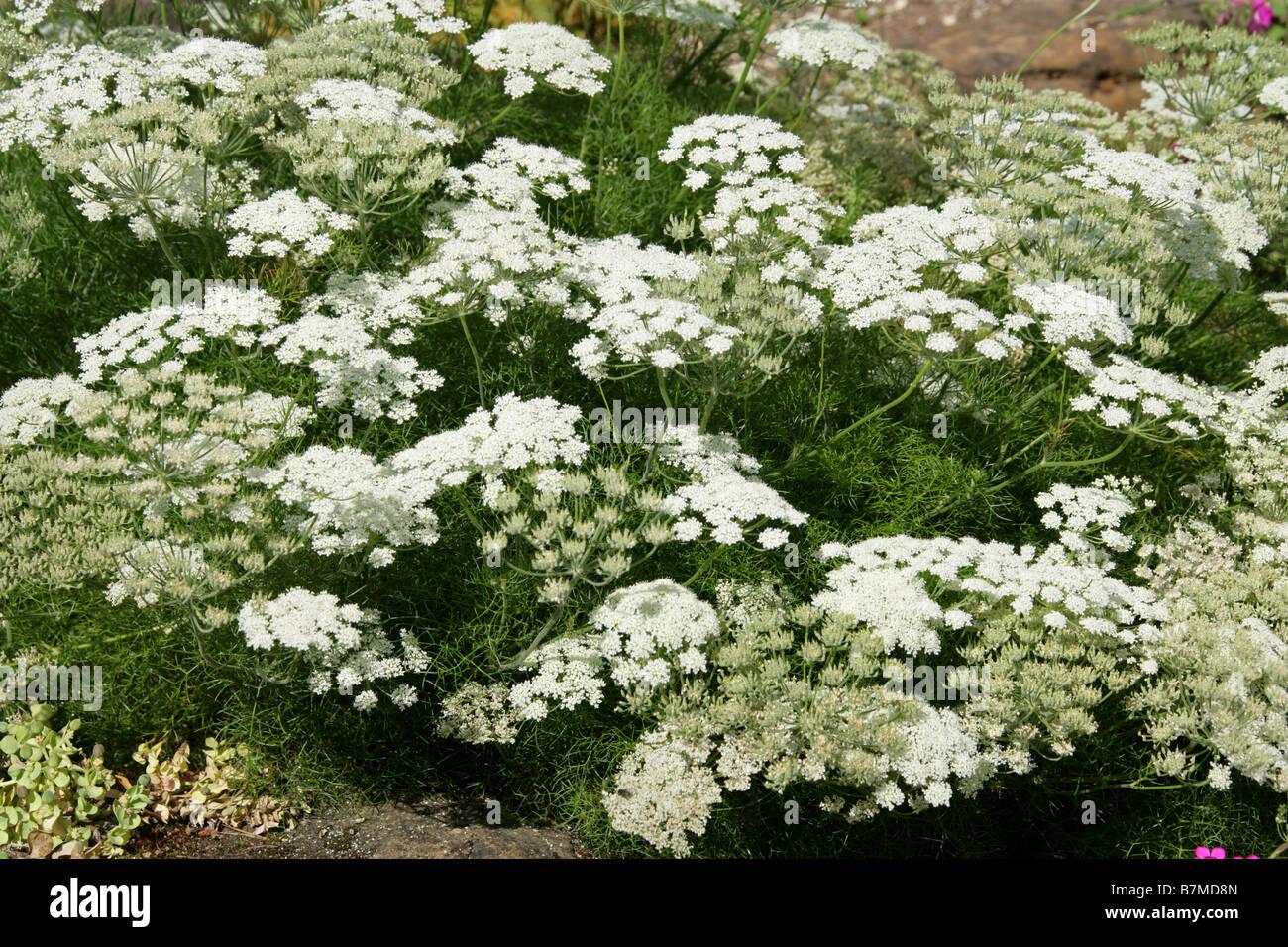 Meum cretensis, Apiaceae, Crete, Greece, Europe Stock Photo