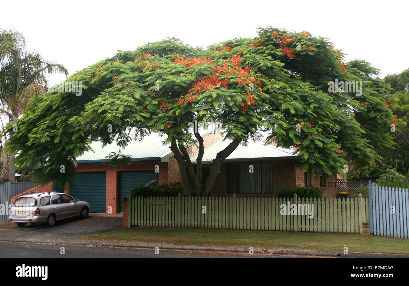 A mature Poinciana tree in flower at Suffolk Park near Byron Bay Australia - Stock Image