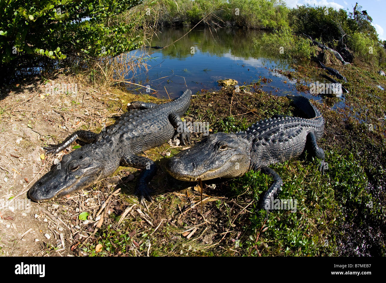 American Alligator Alligator mississippiensis basking in the sun in Everglades National Park Florida - Stock Image
