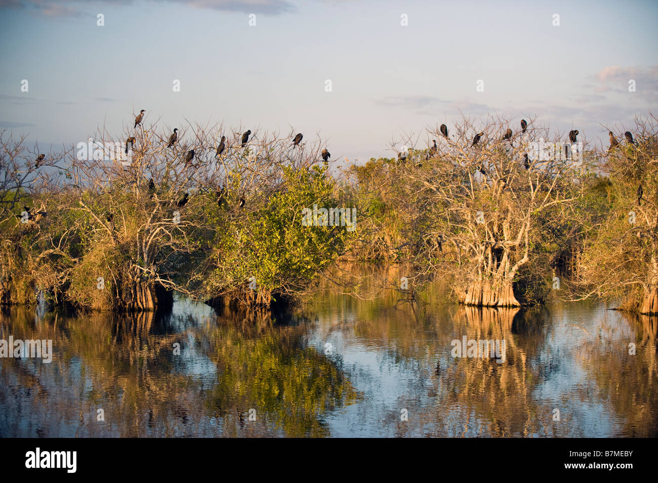 Anhinga and cormorant rookery in Everglades National Park Florida - Stock Image