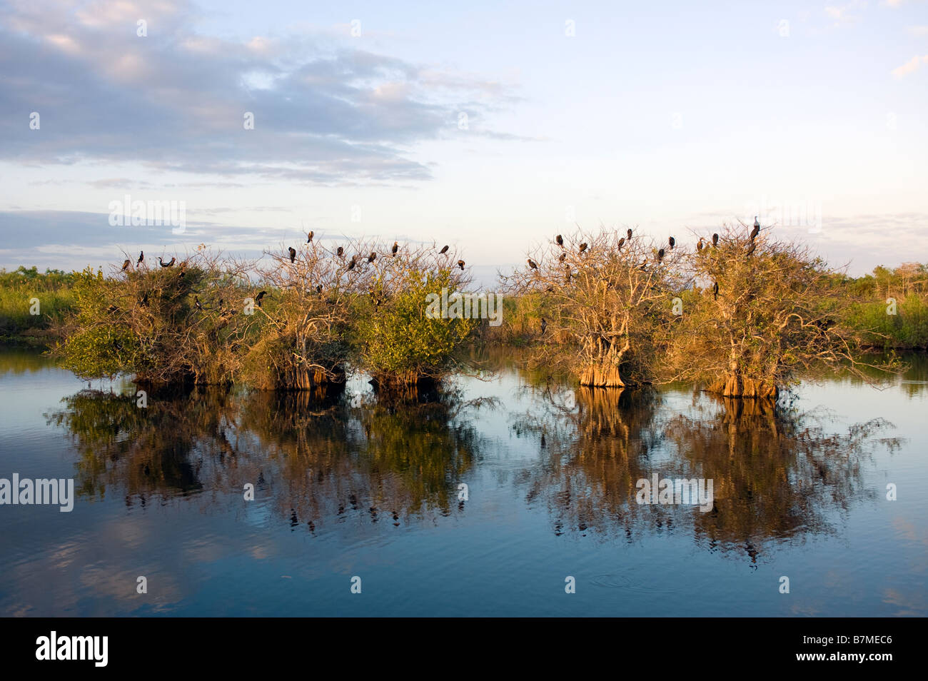 Anhinga and cormorant rookery or nesting area in Everglades National Park Florida - Stock Image