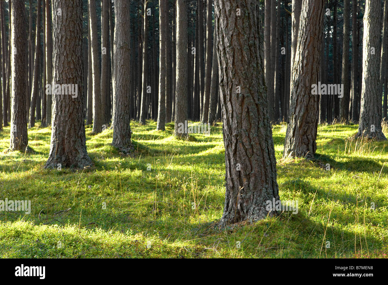 Patches of sunlight hitting pine forest tree trunks green forest floor Scotland - Stock Image
