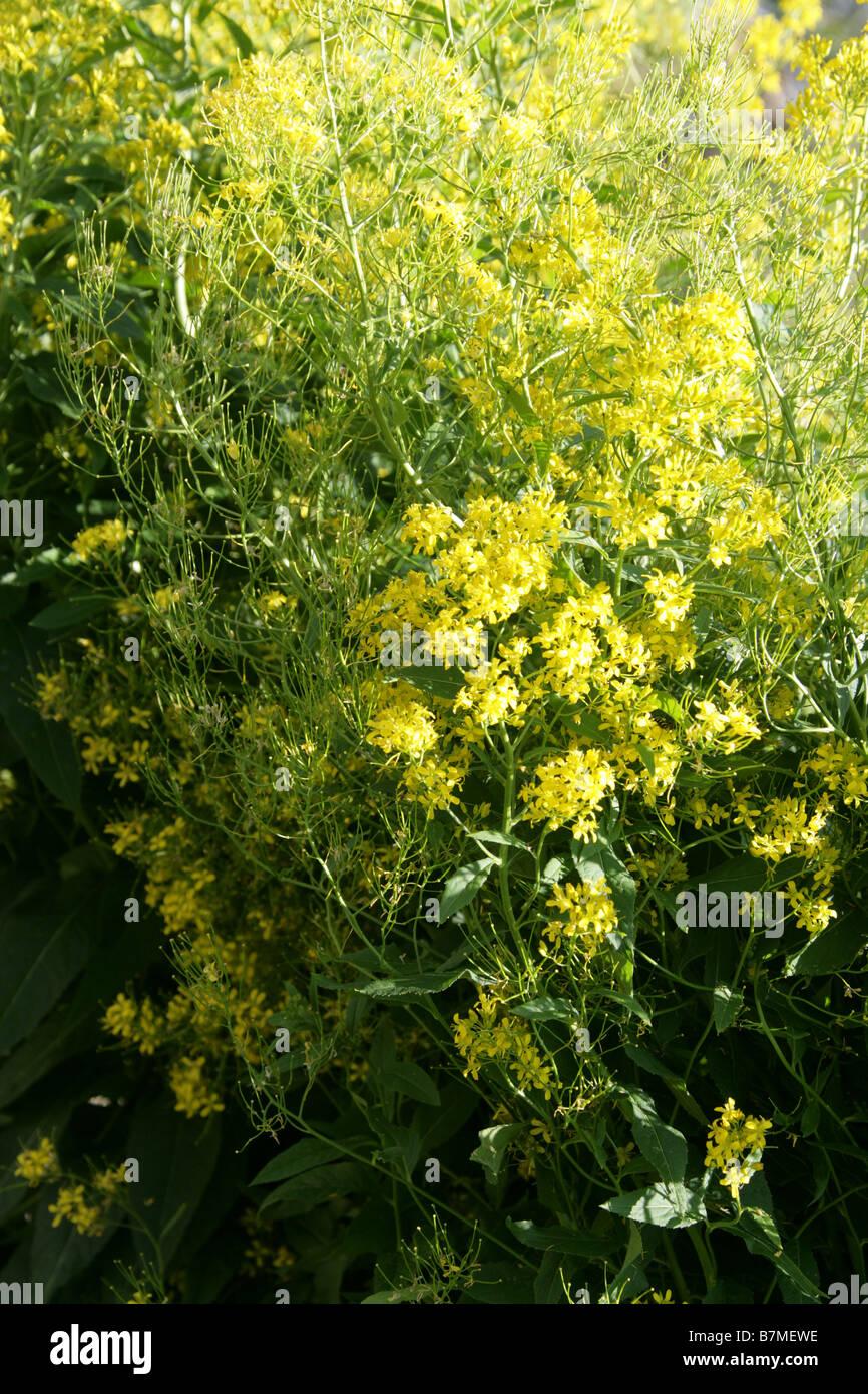 Sisymbrium luteum syn Hesperis lutea, Brassicaceae, Japan, Korea and Manchuria - Stock Image