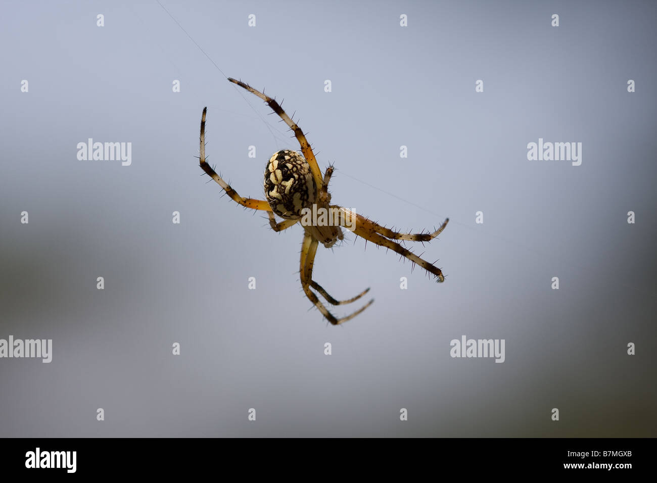 Small yellow and black Western Spotted Orbweaver spider on web. - Stock Image