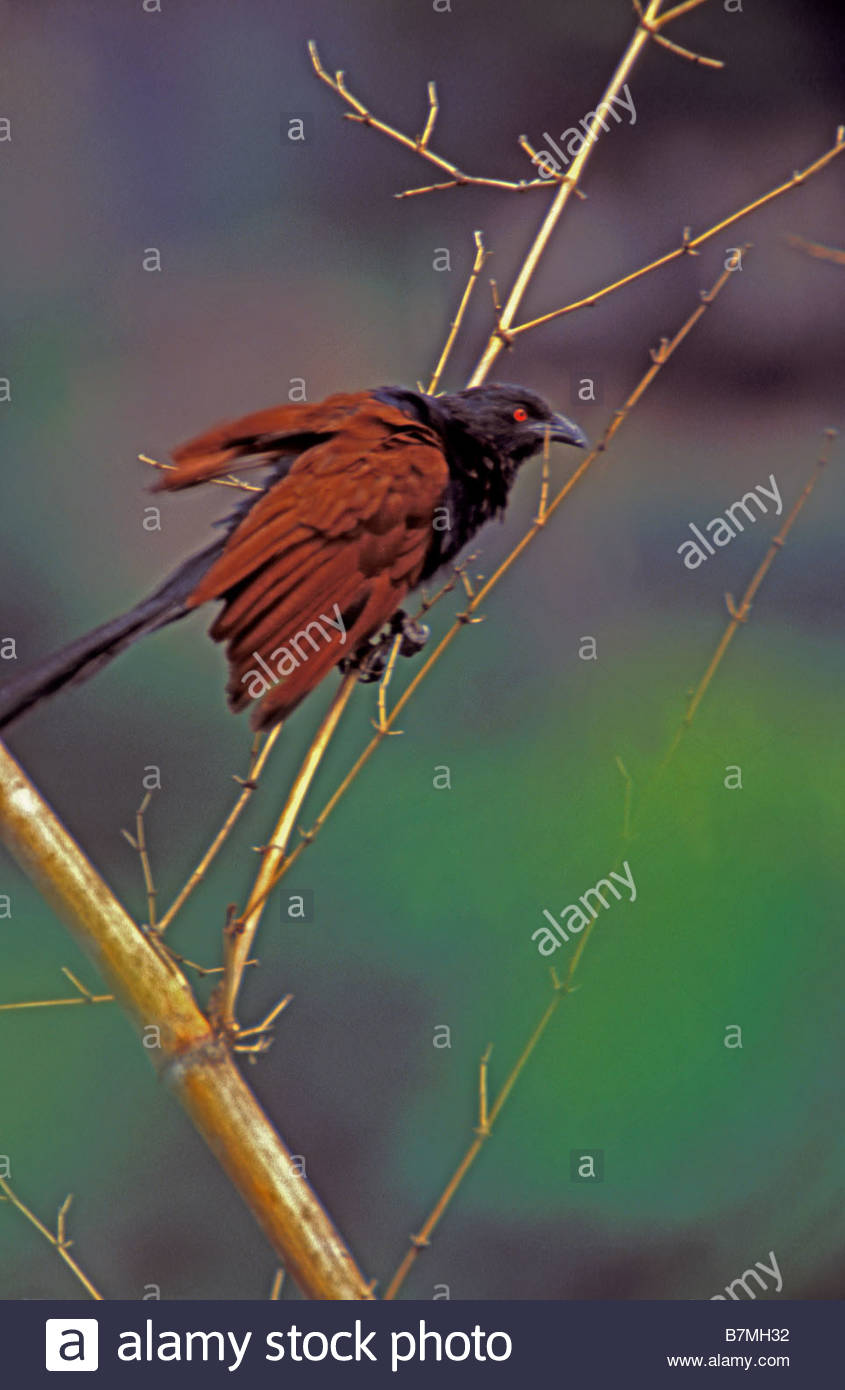 A CROW PHEASANT - Stock Image