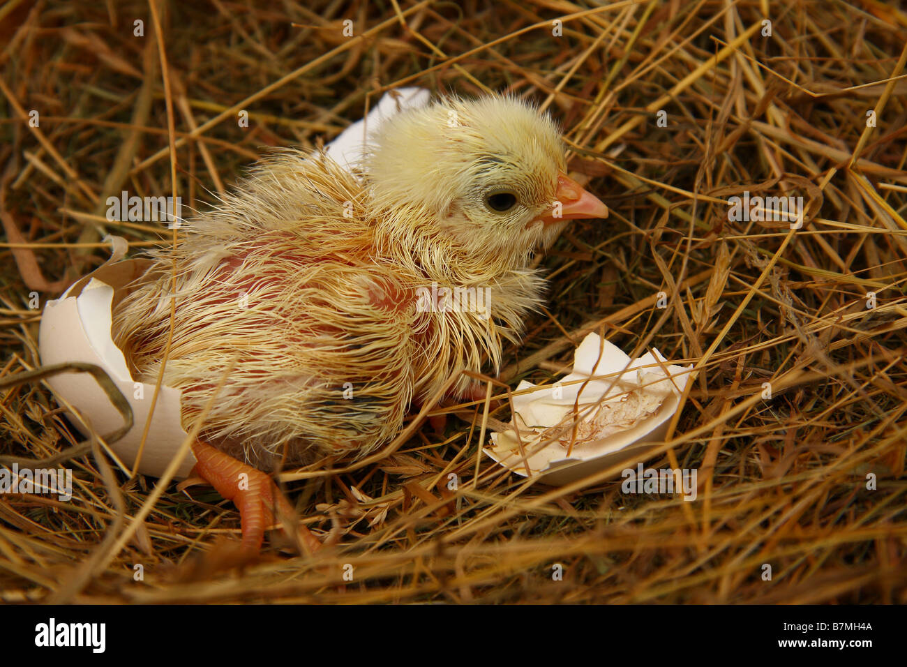 A recently hatched chick sitting on a bed of hay with the remains of the egg shell beside it. - Stock Image