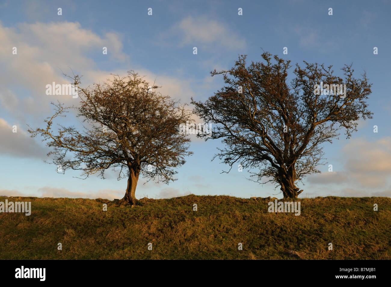 Hawthorn trees on the Hill of Tara, County Meath, Ireland - Stock Image