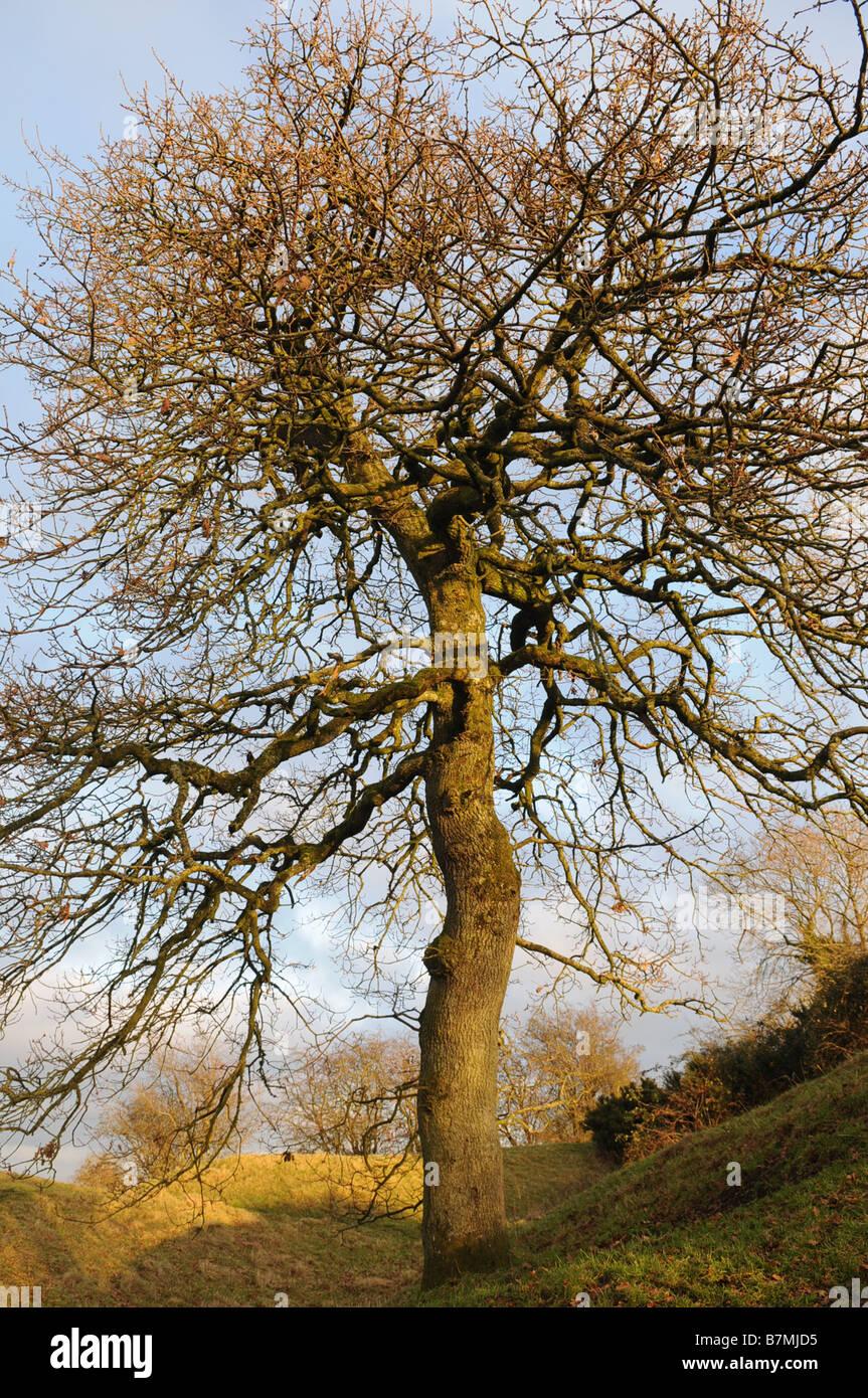 Oak tree growing on Raith Grainne Hill of Tara, County Meath, Ireland - Stock Image