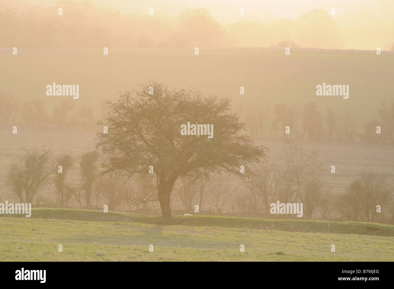 Hawthorn tree in the mist on the Hill of Tara, County Meath, Ireland - Stock Image