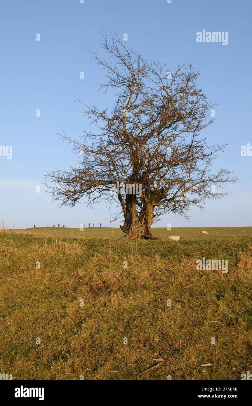 Hawthorn tree on the Hill of Tara, County Meath, Ireland - Stock Image