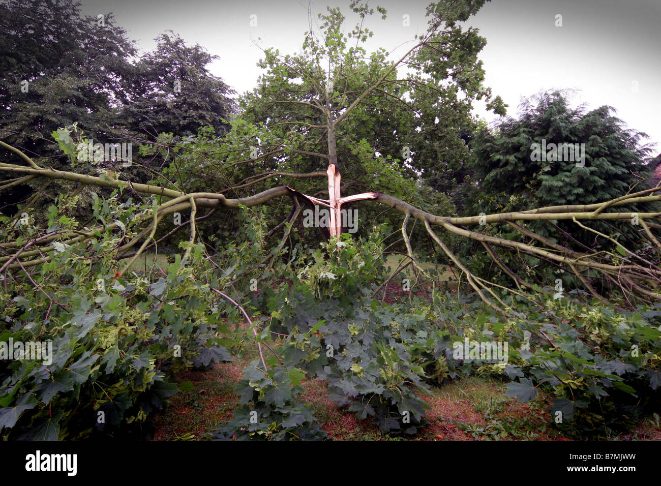 Tree in Hunt Close Bicester gets hit by lightning after heavy thunder storms 2006 - Stock Image