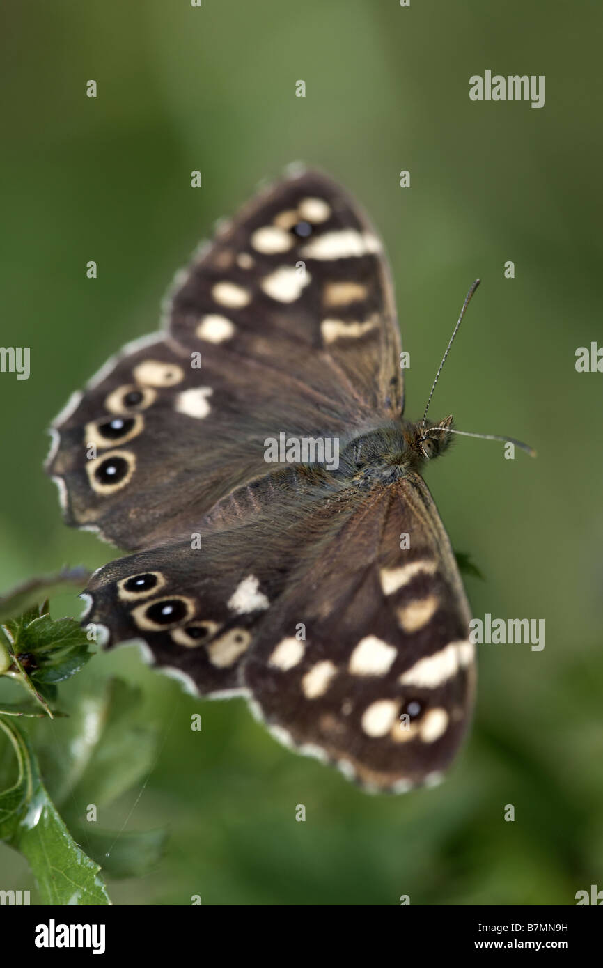 Speckled Wood Pararge aegeria butterfly North Cliffe Nature Reserve East Yorkshire UK - Stock Image