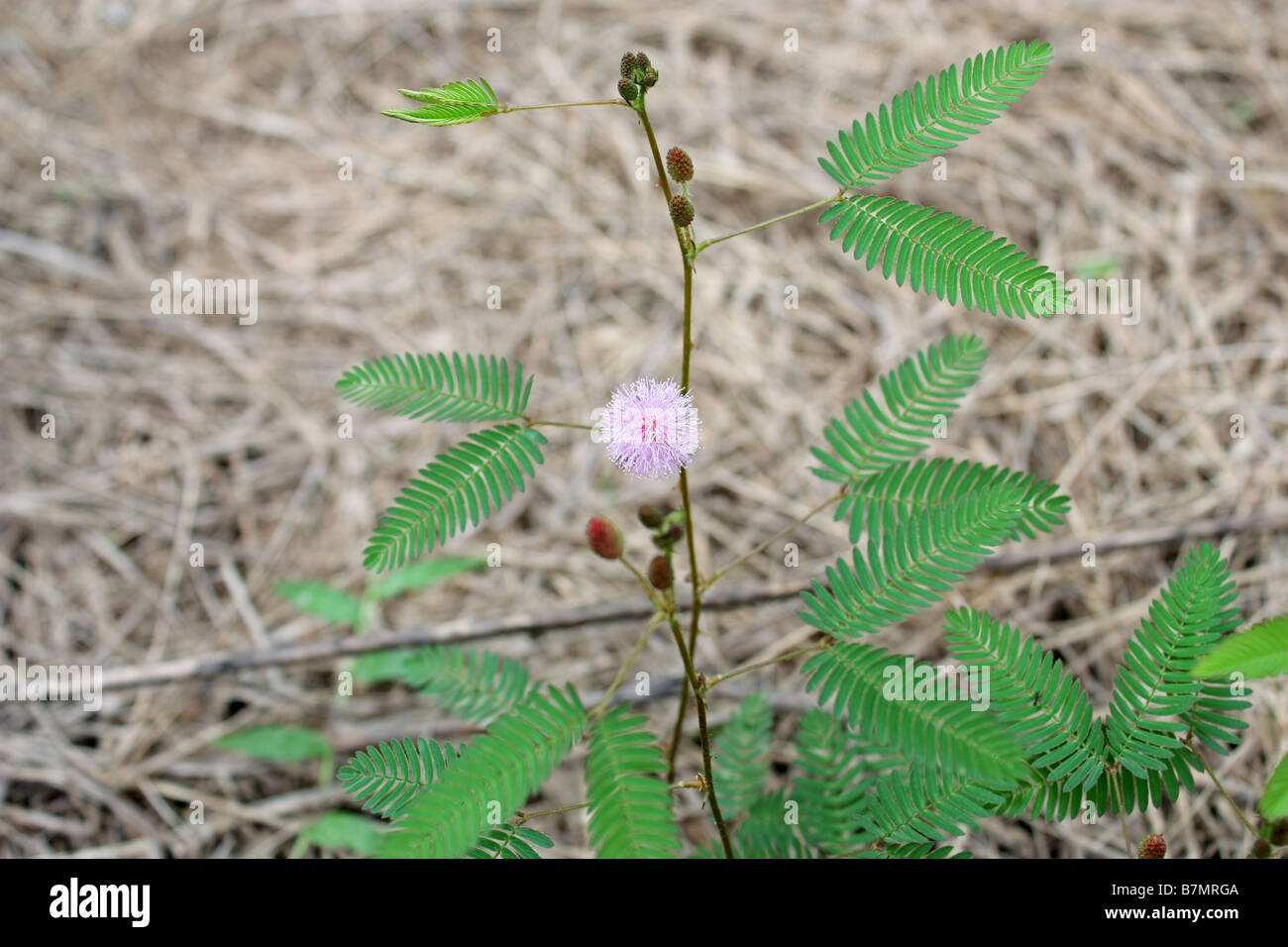 Touch me not plant mimosa Stock Photo