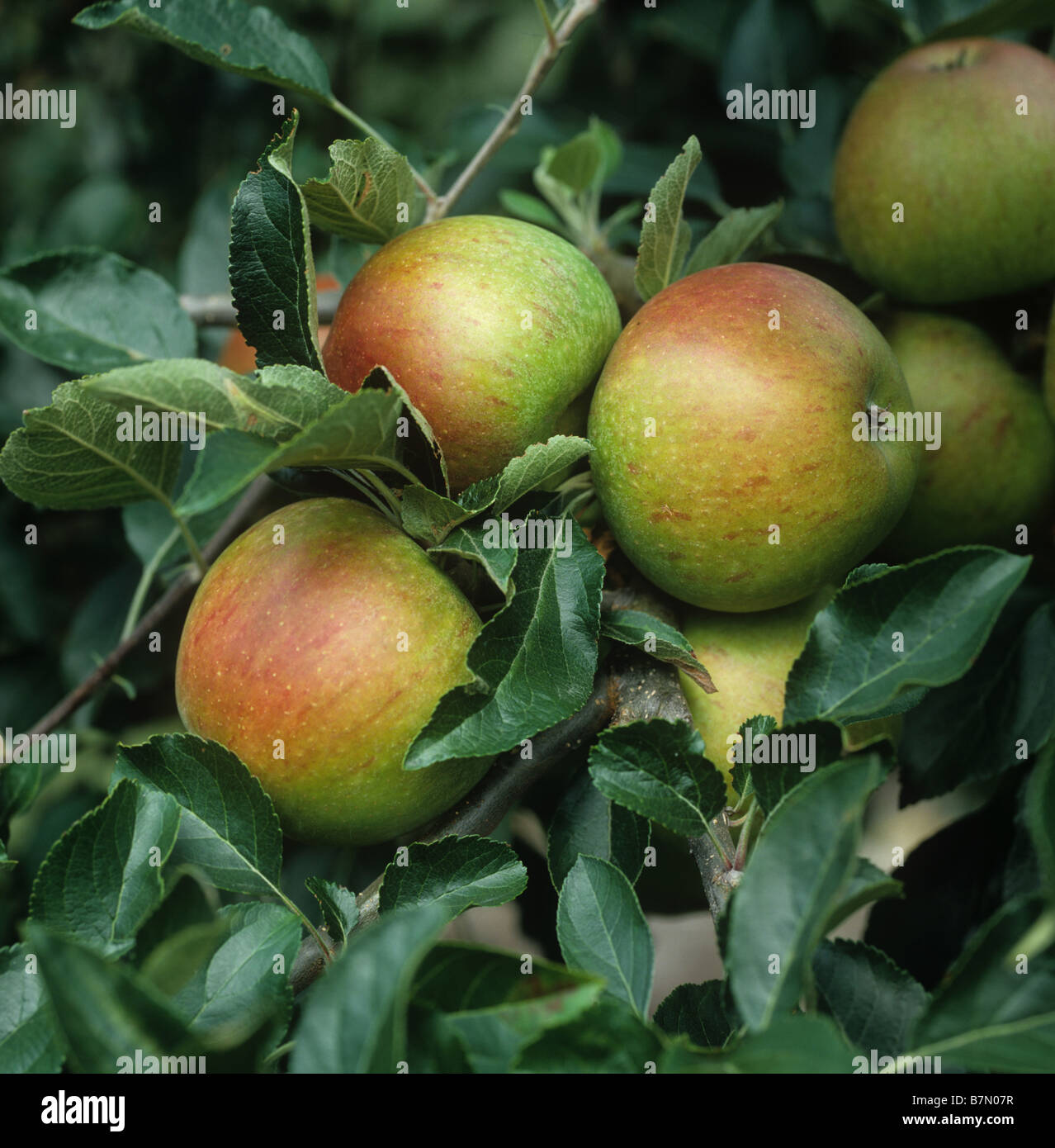 Ripe mature Coxs apple fruit on the tree Oxfordshire - Stock Image