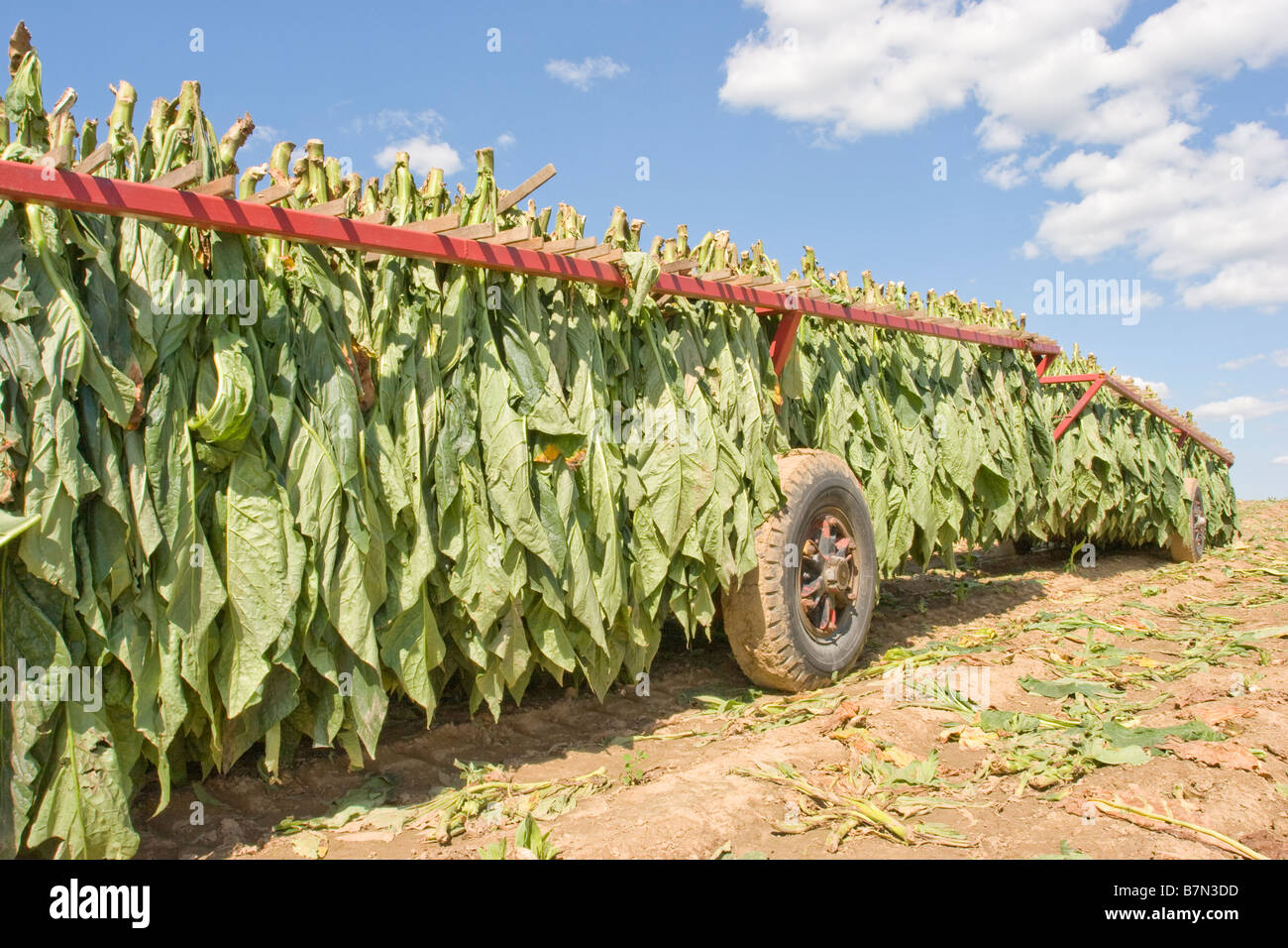 Tobacco leaves on a farm trailer in Ontario Canada - Stock Image