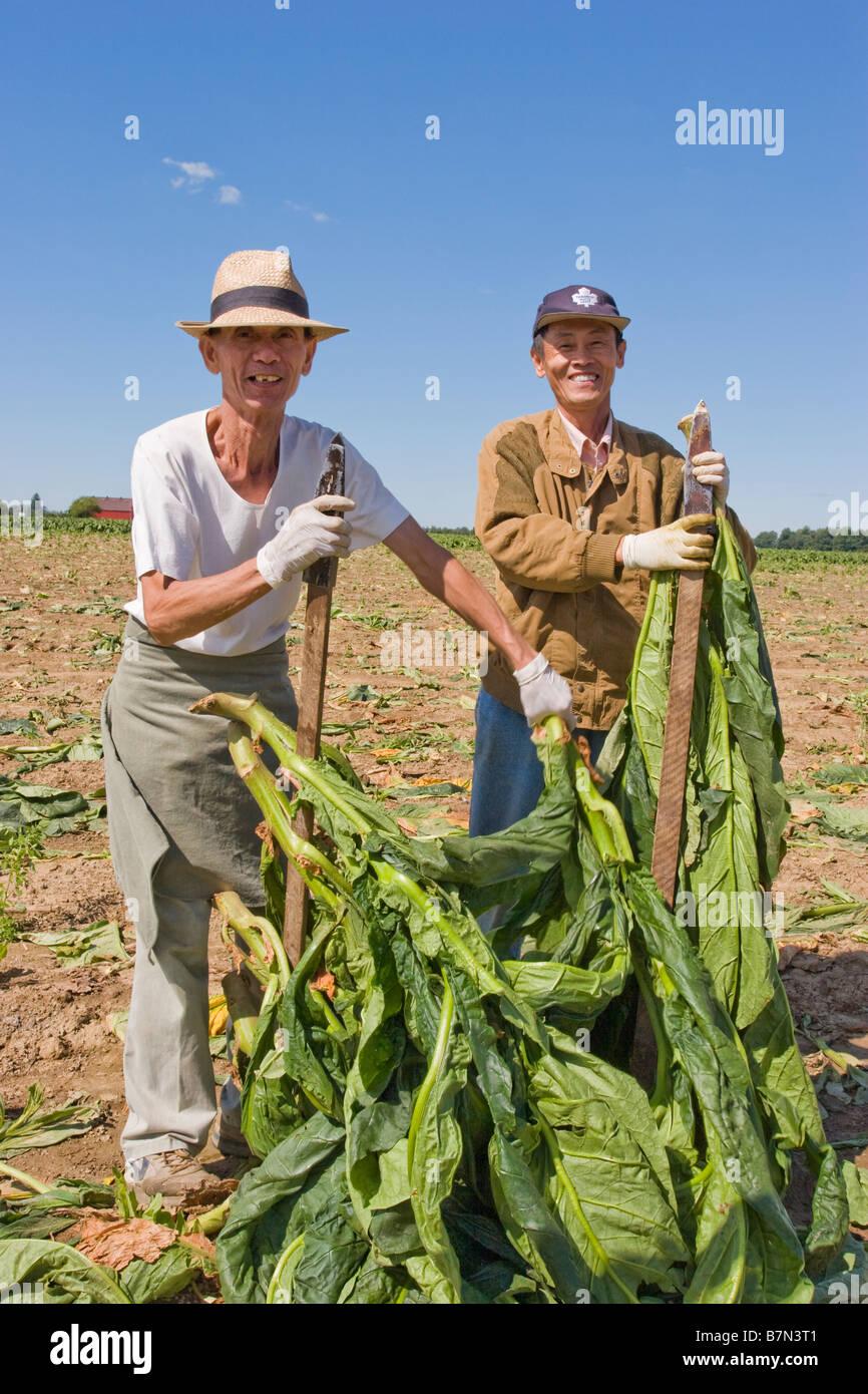Tobacco farmers in Ontario Canada - Stock Image