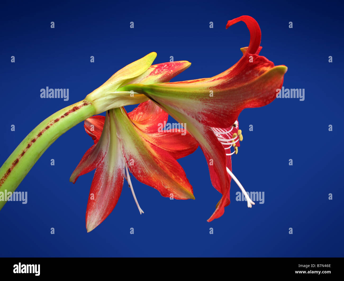 Giant Amaryllis lily in full bloom. Stock Photo