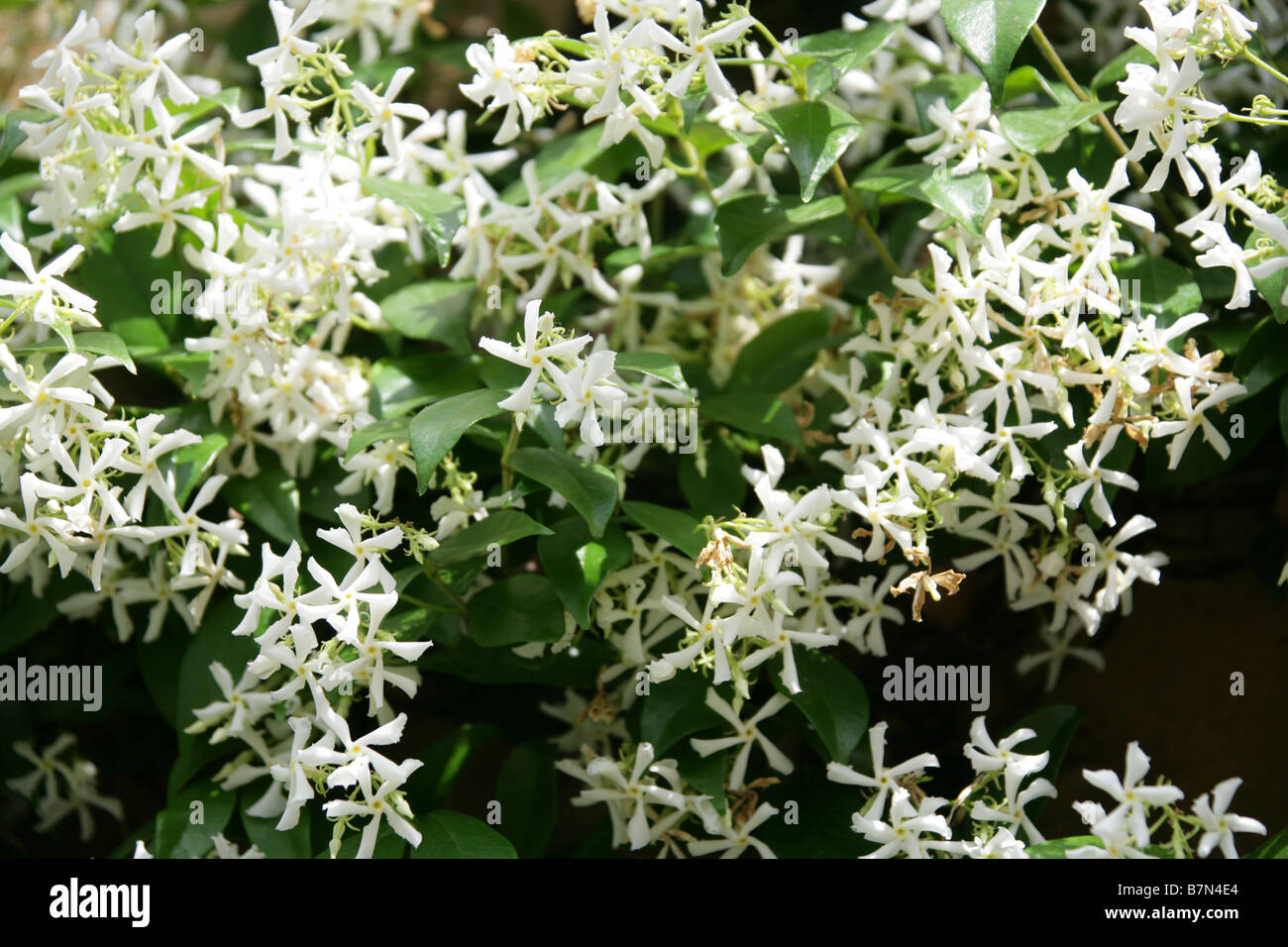 Star Jasmine or Confederate Jasmine, Trachelospermum jasminoides syn Rhynchospermum jasminoides, Apocynaceae - Stock Image