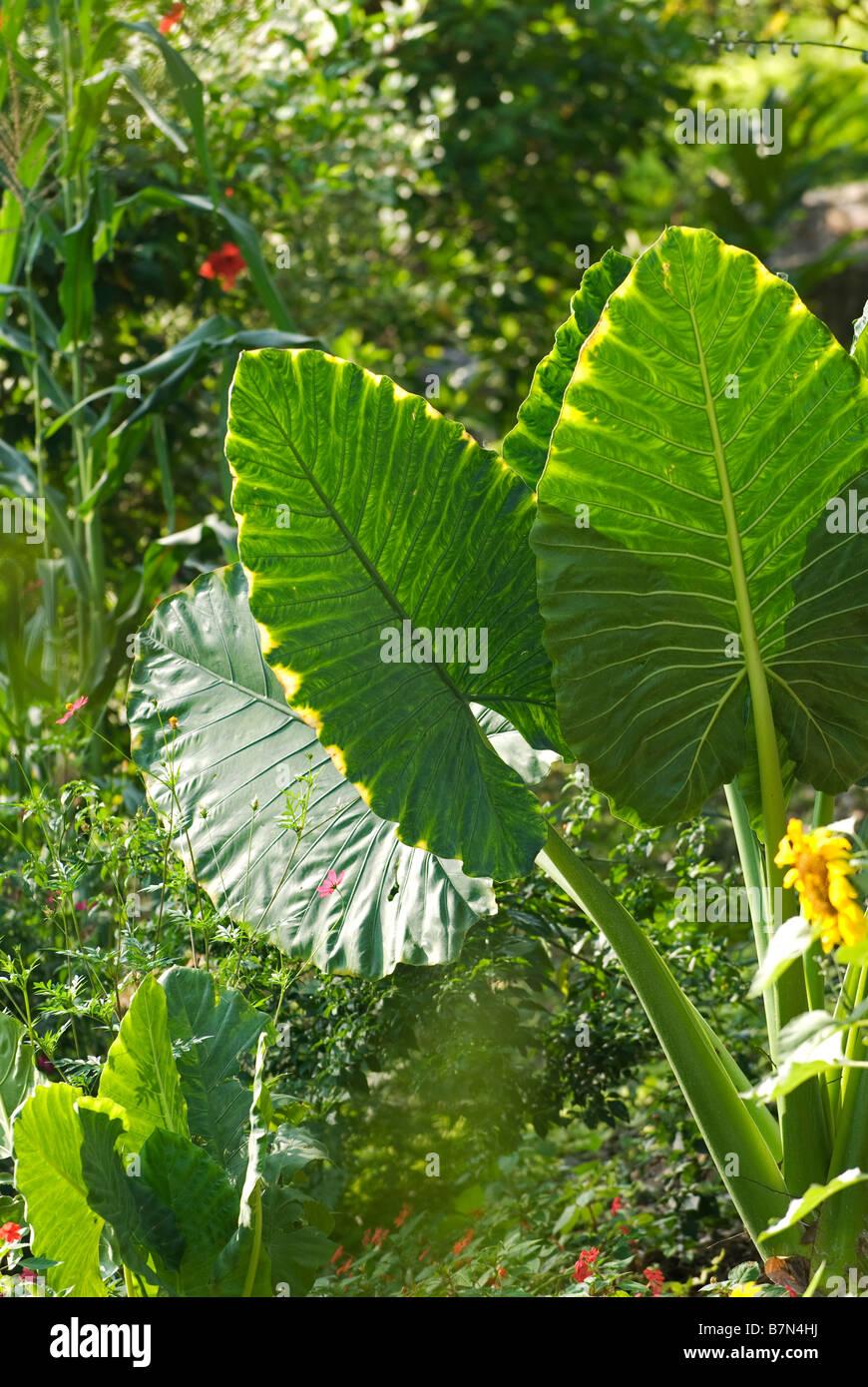 Honduras, Copan, Hacienda San Lucas. Exotic flower in the gardens of the Hacienda San Lucas eco-lodge - Stock Image