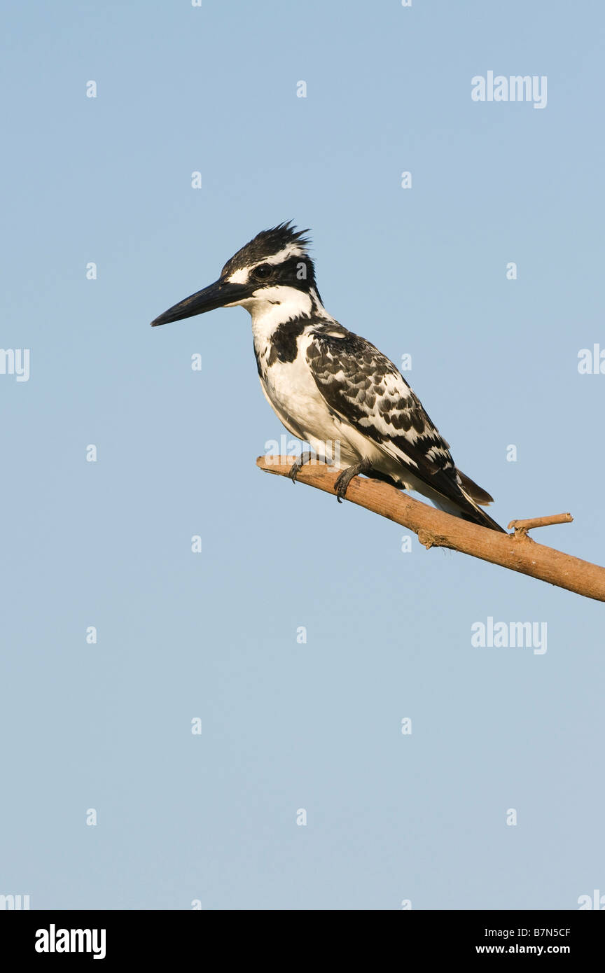 Ceryle rudis. Pied Kingfisher perched on a stick over a water well in the indian countryside. Andhra Pradesh, India - Stock Image