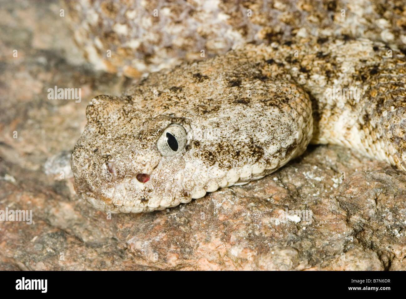 Rattlesnake Poison Stock Photos & Rattlesnake Poison Stock