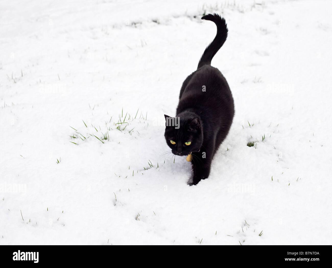 Black cat walking outdoors in deep winter snow PR - Stock Image