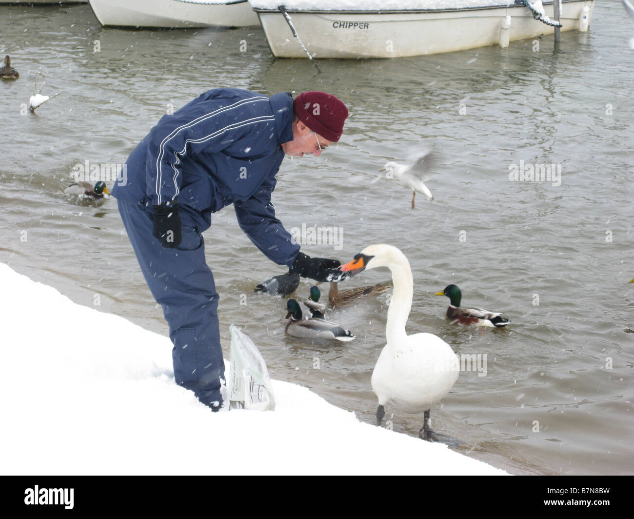Man feeds a Bewick's Swan in the snow at Thames towpath by Molesey Lock near Hampton Court, East Molesey, Surrey, Stock Photo