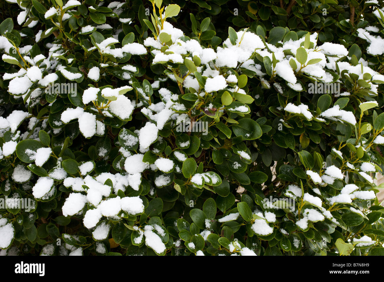Garden shrub with leaves covered in winter snow - Stock Image